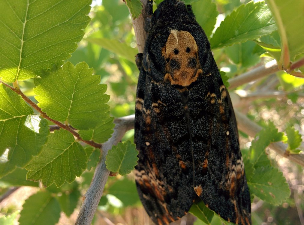Xl photo de p. le n  acherontia atropos  cc by  flickr