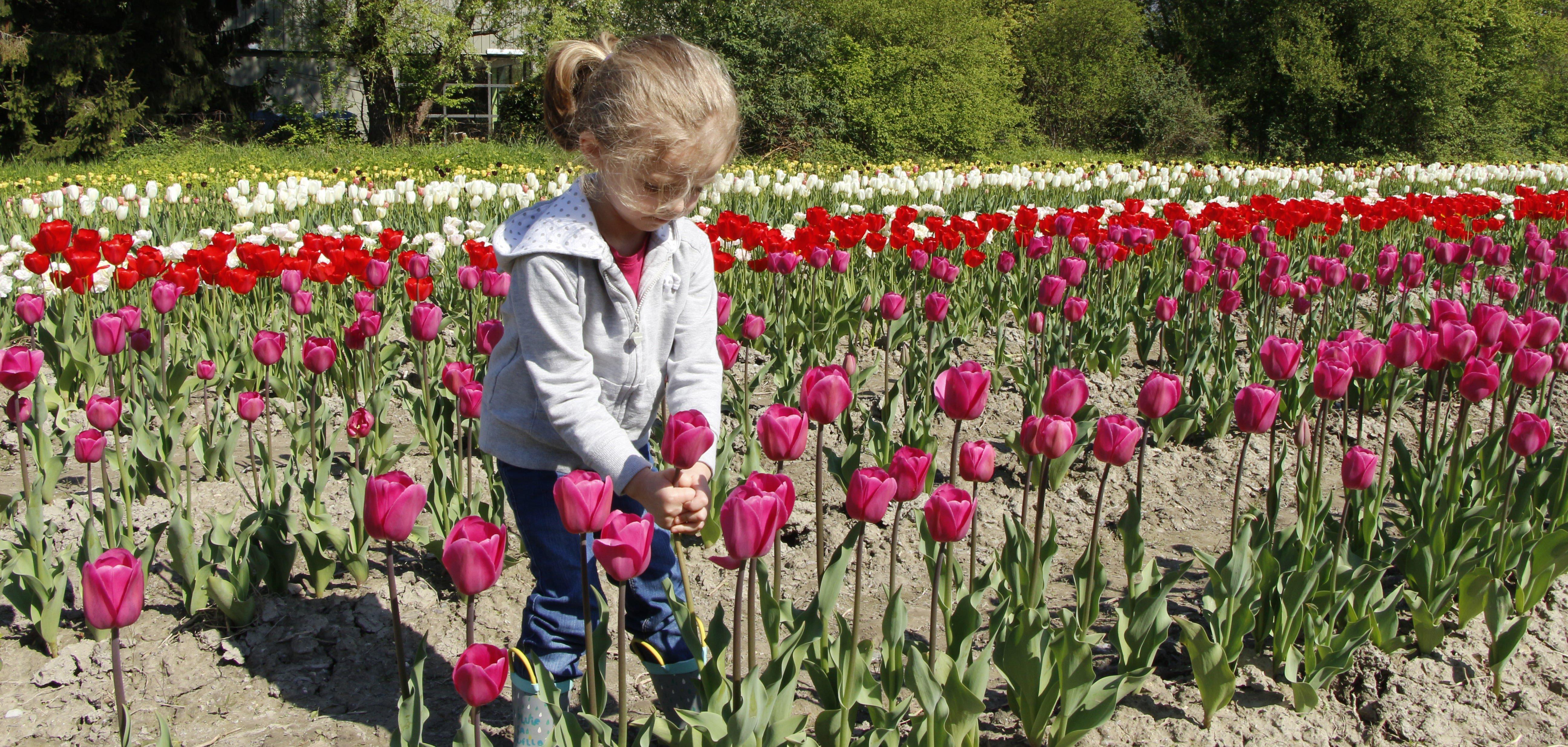 tulipe meylan