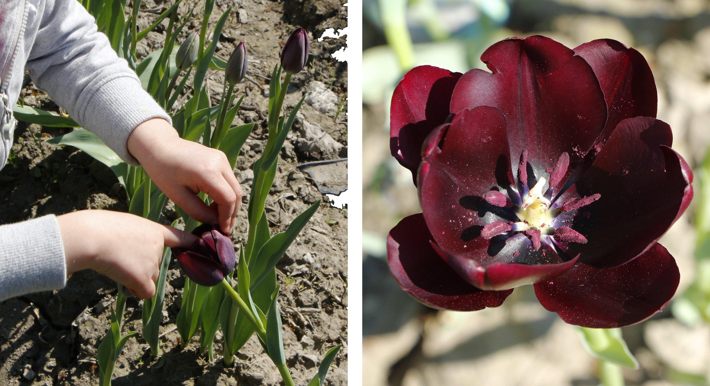 des tulipes pour guérir des enfants | echosciences - grenoble